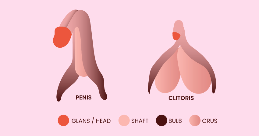 The penis and clitoris have a similar structure.